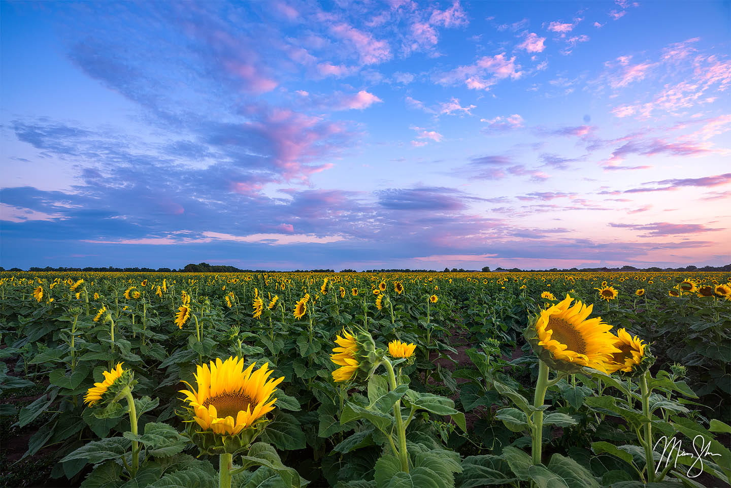 Kansas photography: Sunflowers at Grinter Farms