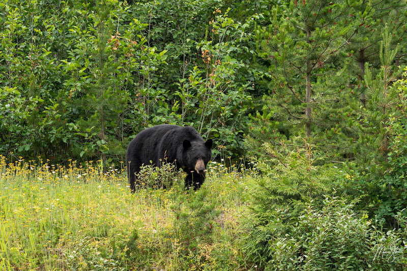 Black bear east of Terrace, British Columbia