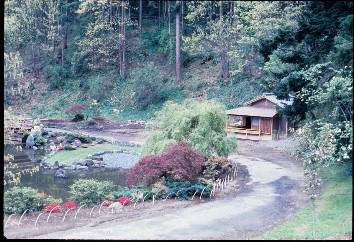 Historic photo of the Portland Japanese Garden's famous Japanese maple tree in 1968