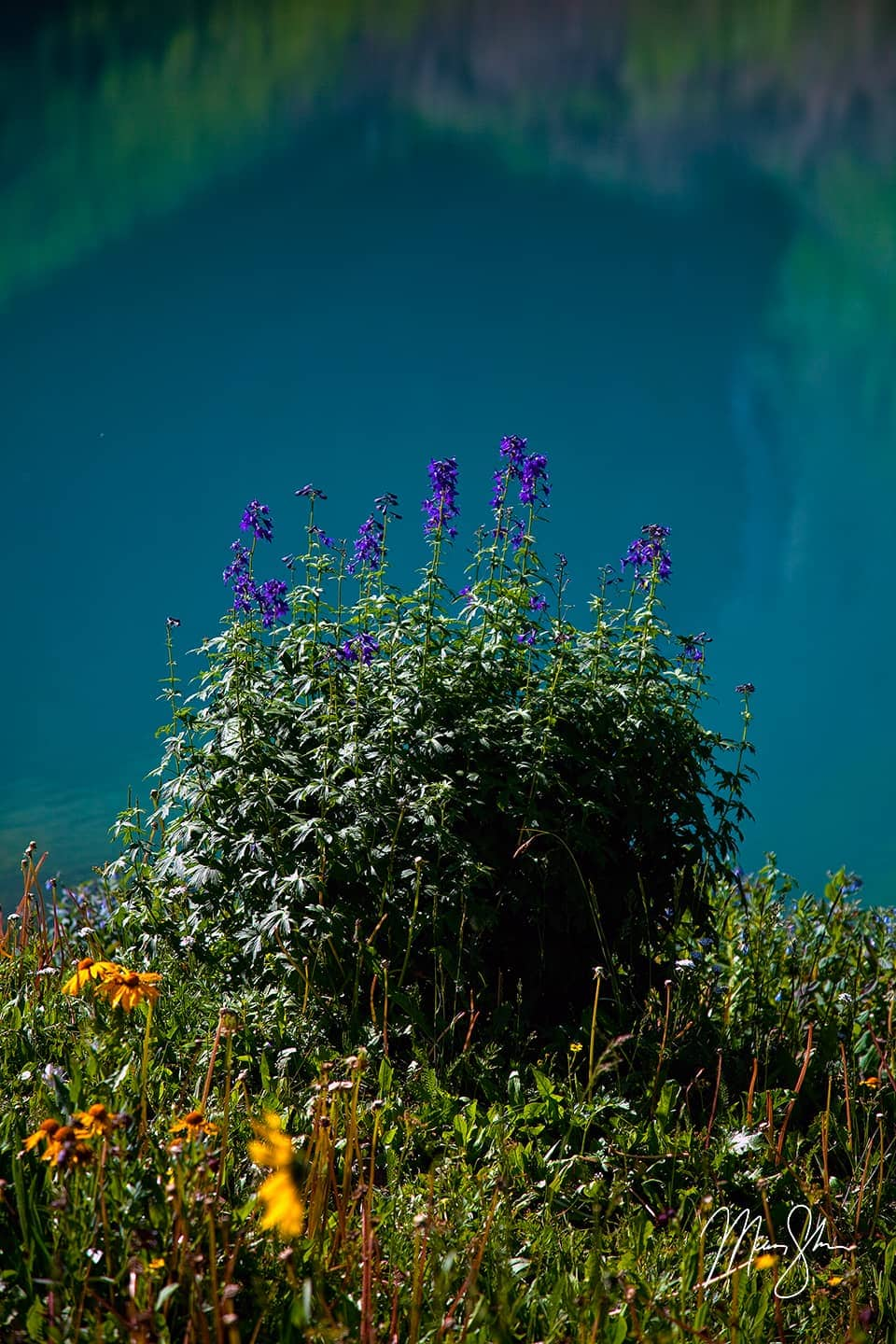 Blue Lake Wildflowers Closeup - Ridgway, San Juans, Colorado