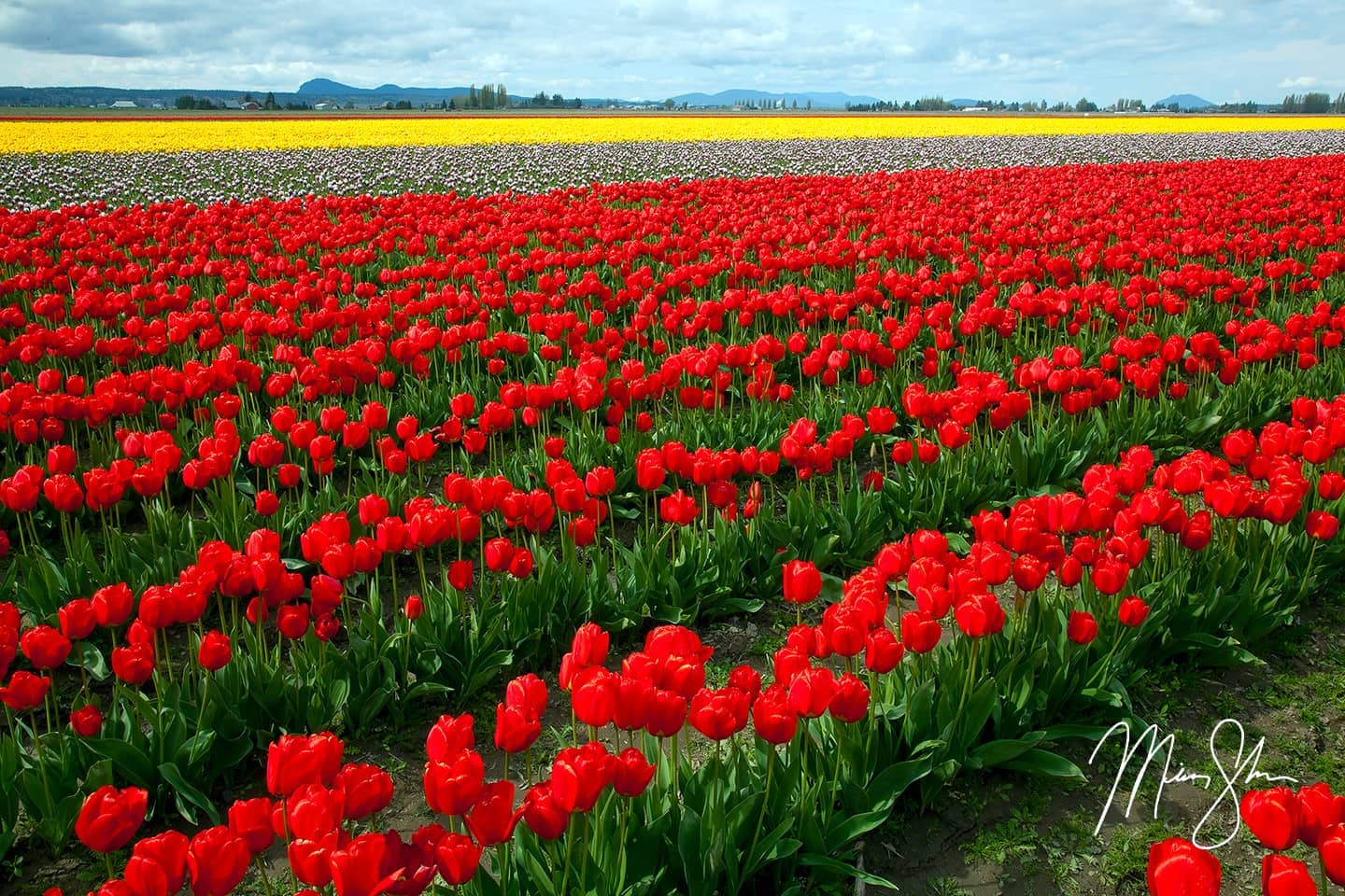 Colors of Skagit Tulip Fields