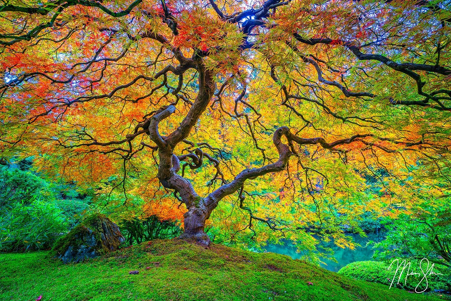 Luxurious Fine Art Print of Portland Japanese Garden's famous Japanese Maple Tree as it transitions from the green of summer to peak fall colors of yellow, orange and red