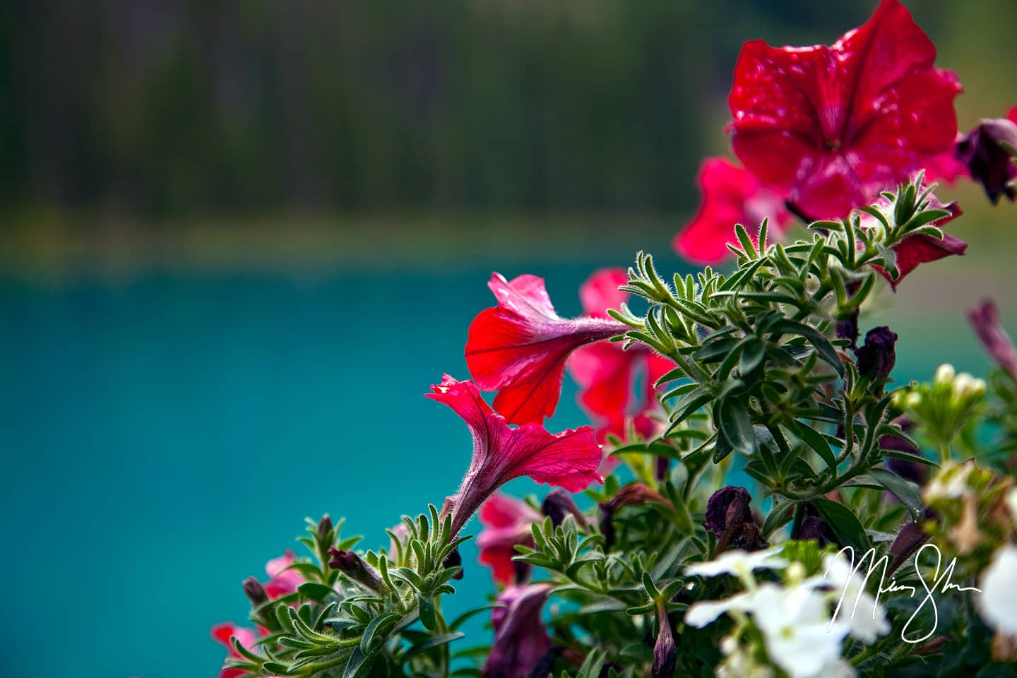 Flowers of Emerald Lake