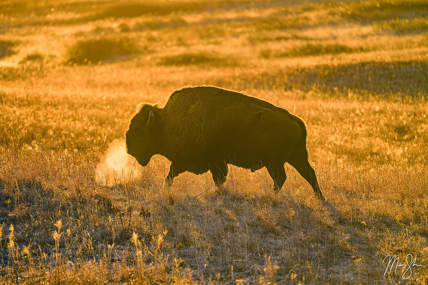 Golden Bison - Maxwell Wildlife Refuge, Kansas
