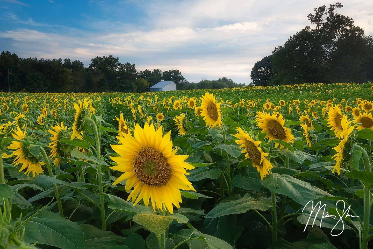 Grinter Farms Sunflowers