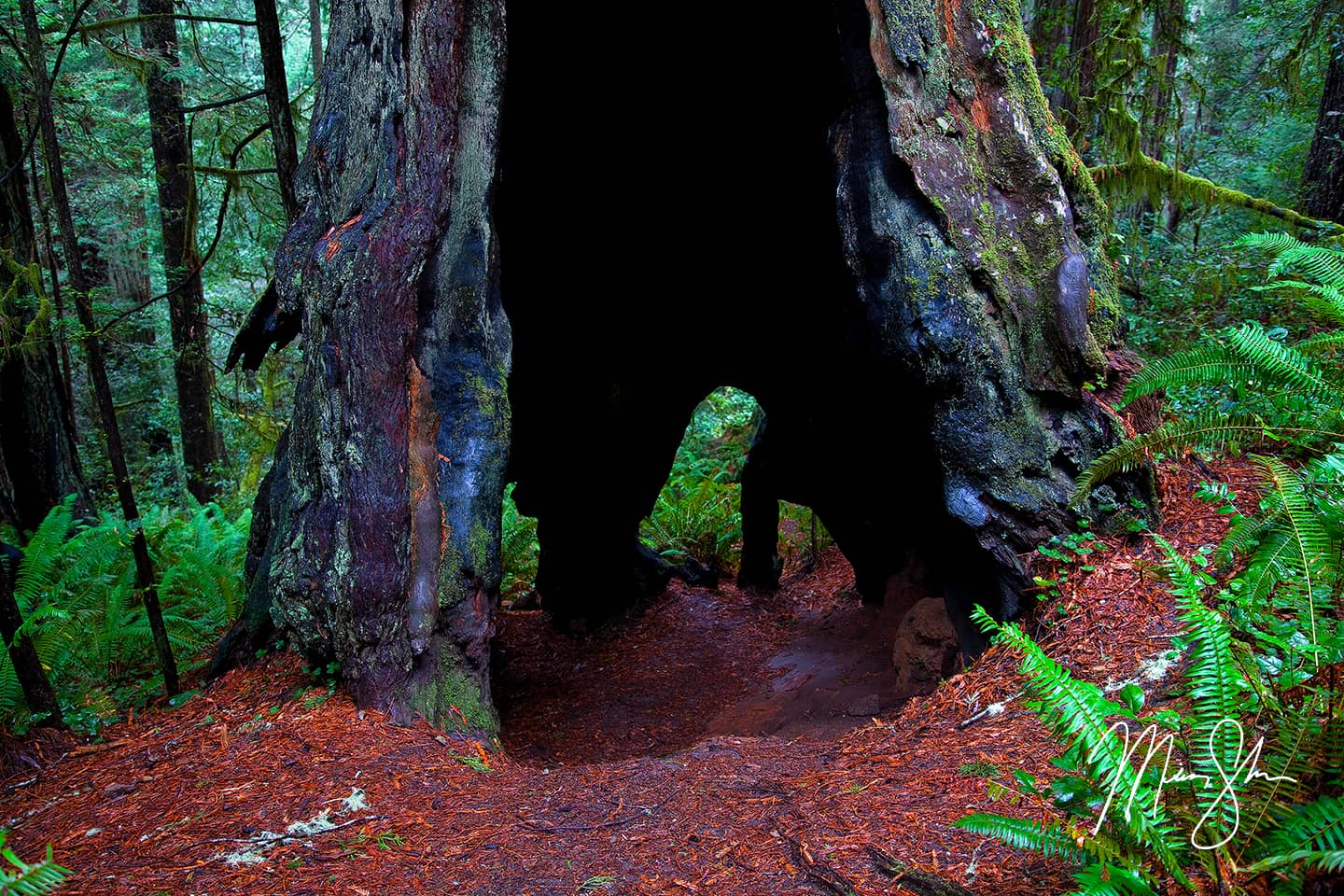 Hallowed Ground - Lady Bird Johnson Grove, Redwood National Park, California