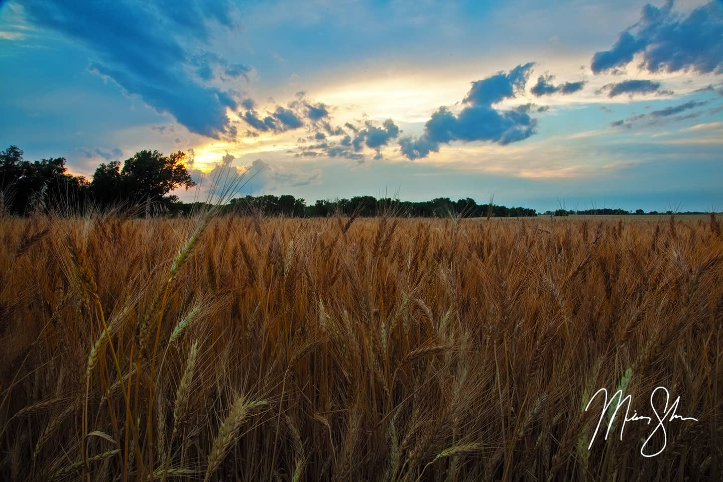 Open edition fine art print of Kansas Wheat and Sunset from Mickey Shannon Photography. Location: Near Wichita, Kansas