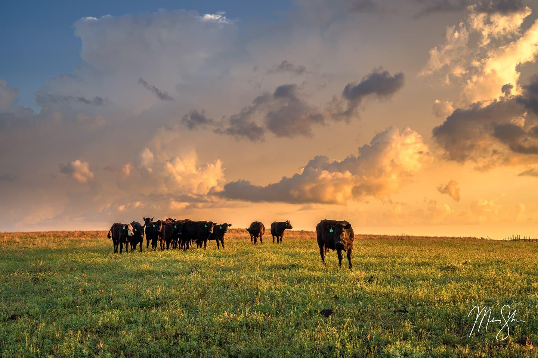 Kingman Cows - Near Kingman, Kansas