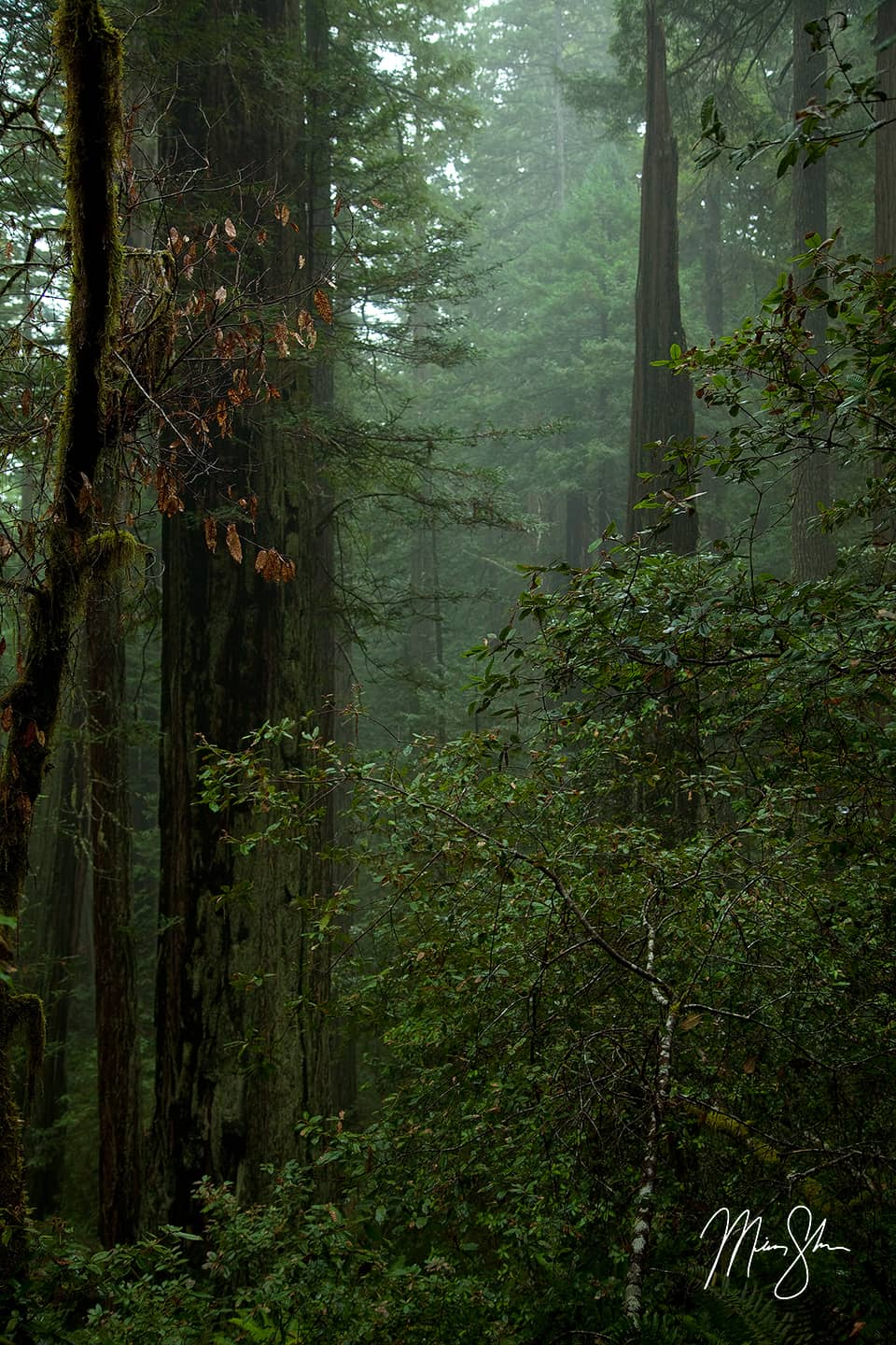 Mist in the Redwoods