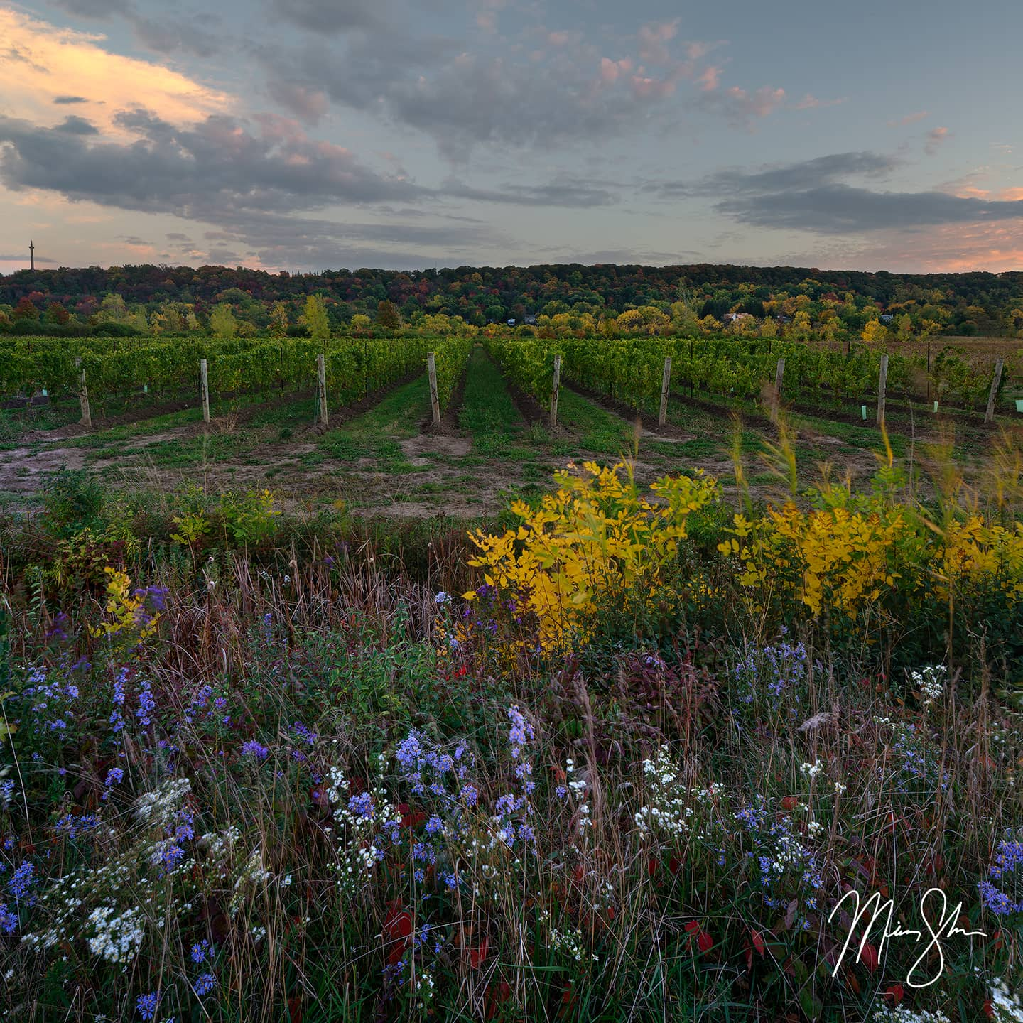 Open edition fine art print of Niagara Vineyard Sunset from Mickey Shannon Photography. Location: Niagara-on-the-Lake, Ontario, Canada