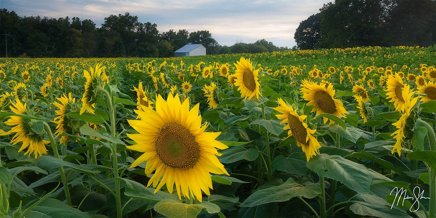 Northeast Kansas Photography: Grinter Farms sunflowers