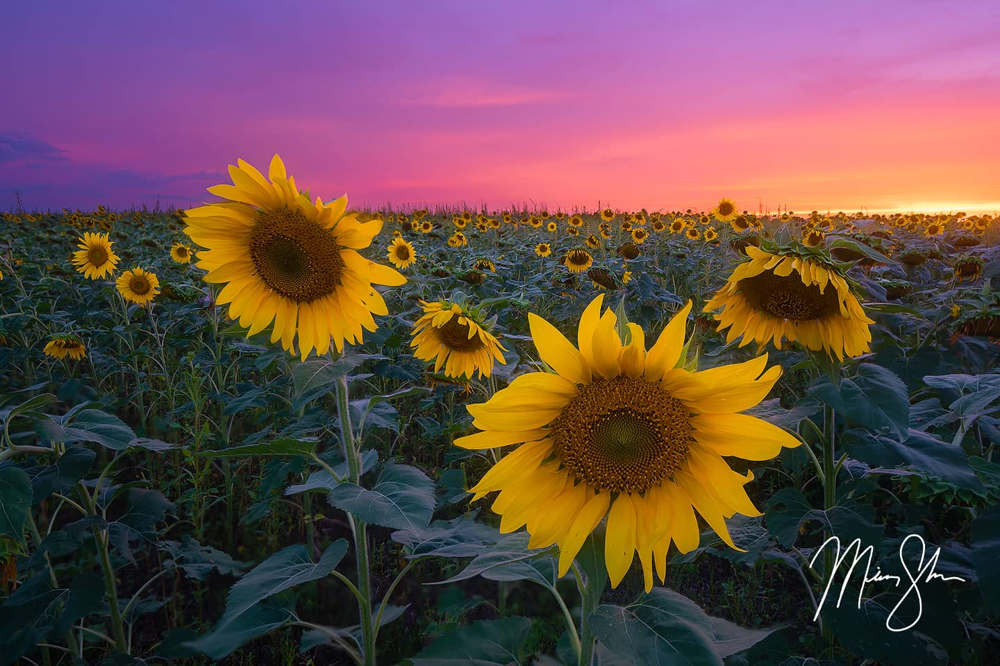 Pastel Sunflower Sunset