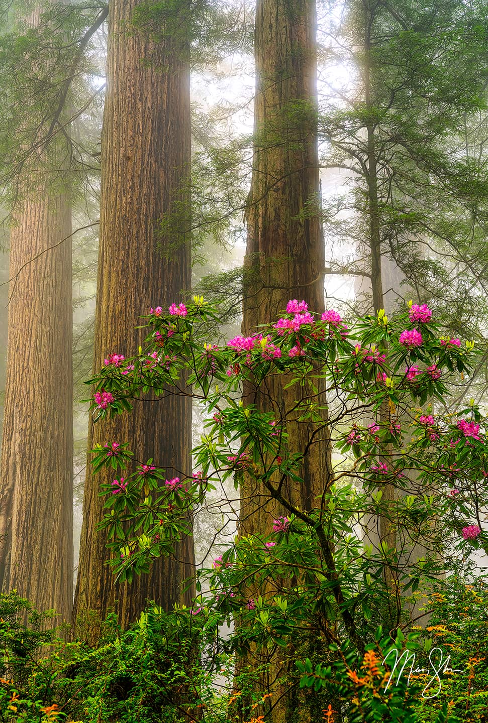 Rhododendrons Amongst the Redwoods