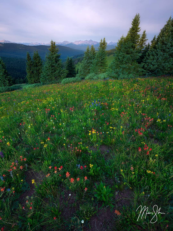 Shrine Ridge Wildflowers - Shrine Ridge, Colorado