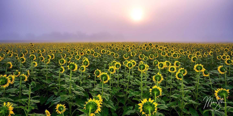 Silence of the Sunflowers - Grinter Farm, Lawrence, Kansas