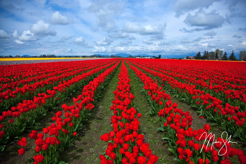 Skagit Valley Tulip Festival - Skagit Valley, Washington
