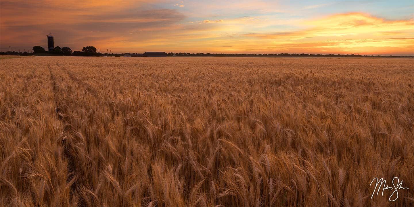 South Central Kansas Photography: A wheat field at sunrise