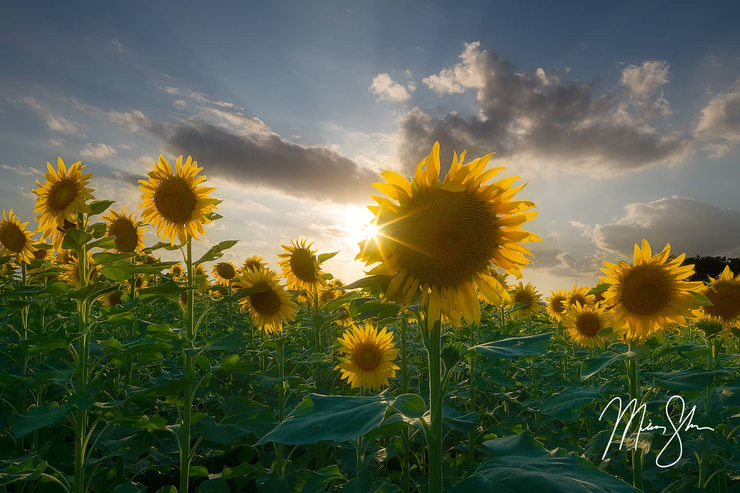Sunburst Sunflowers - Haysville, KS