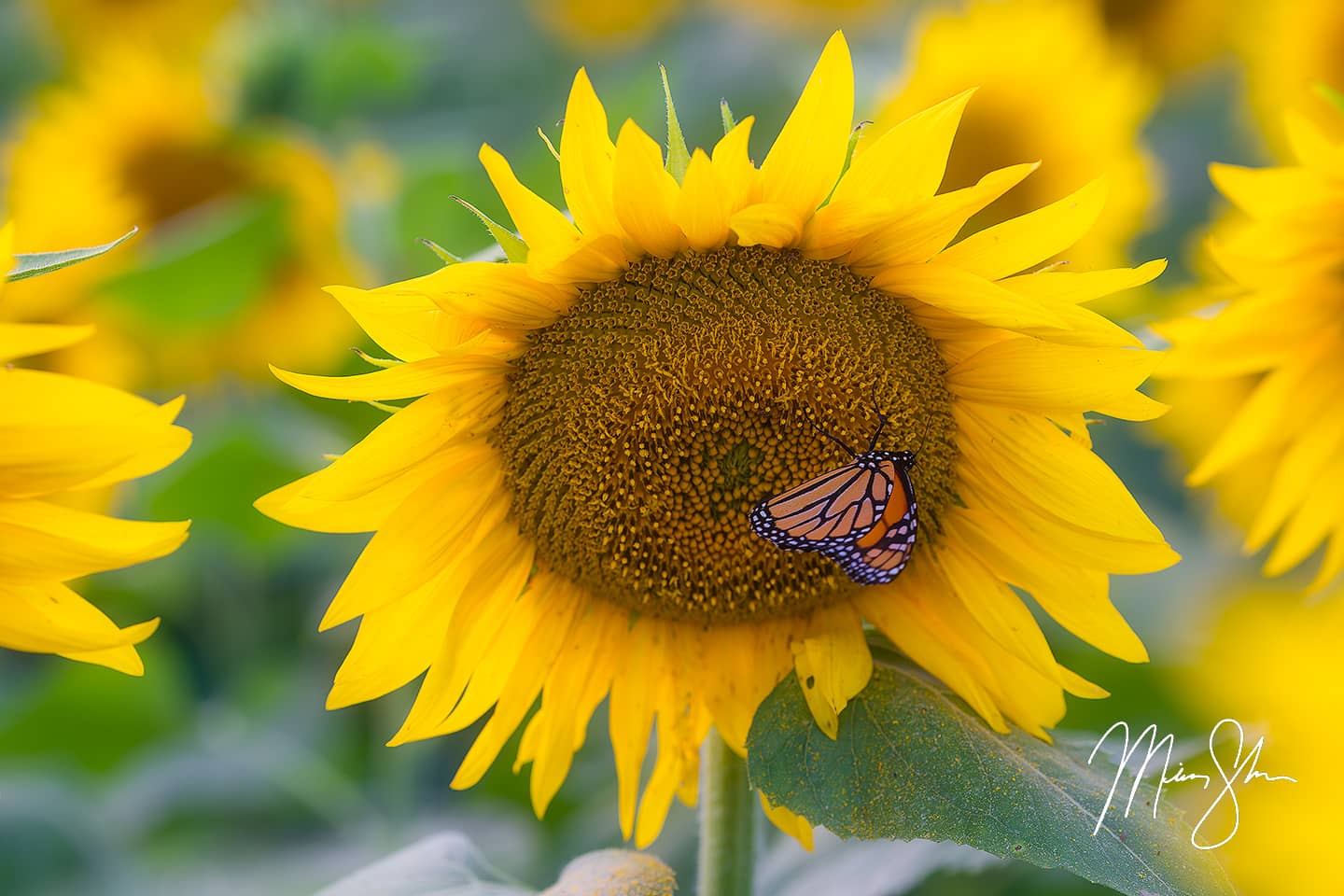 Open edition fine art print of Sunflower Butterfly from Mickey Shannon Photography. Location: Lawrence, KS