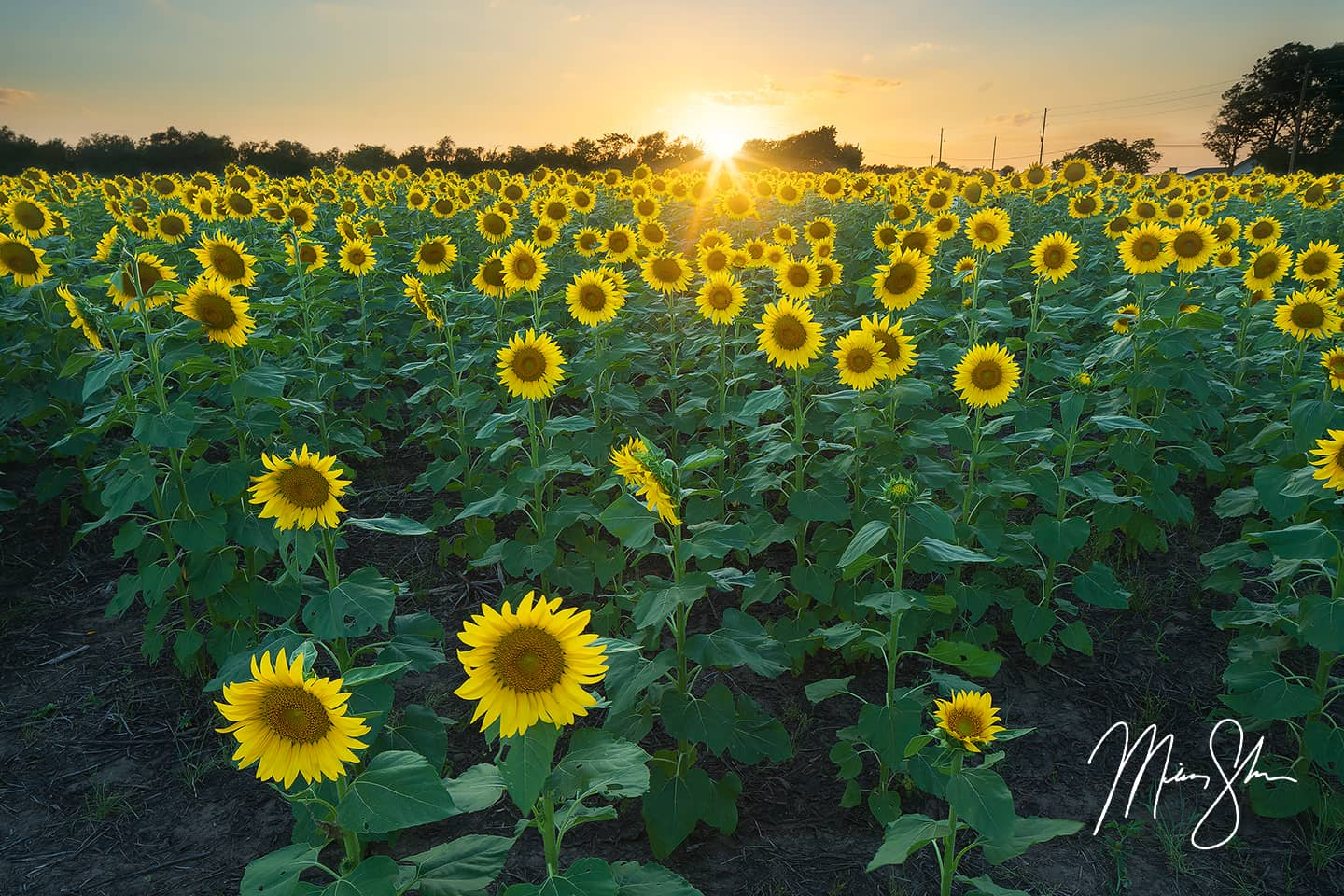 Open edition fine art print of Sunflower State Sunset from Mickey Shannon Photography. Location: Haysville, KS