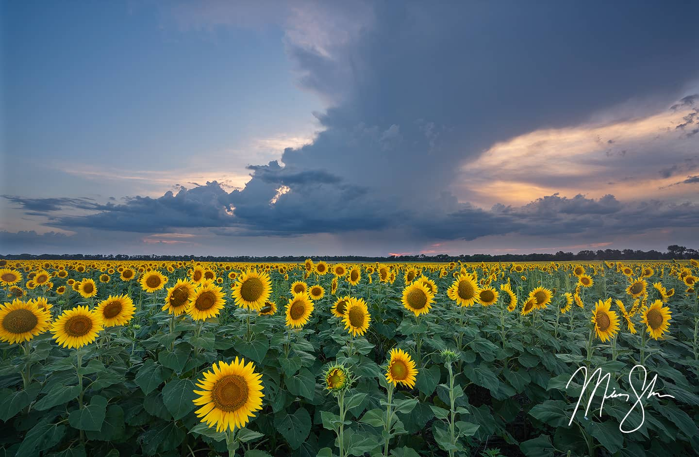 Open edition fine art print of Sunflower Storms from Mickey Shannon Photography. Location: Clearwater, Kansas