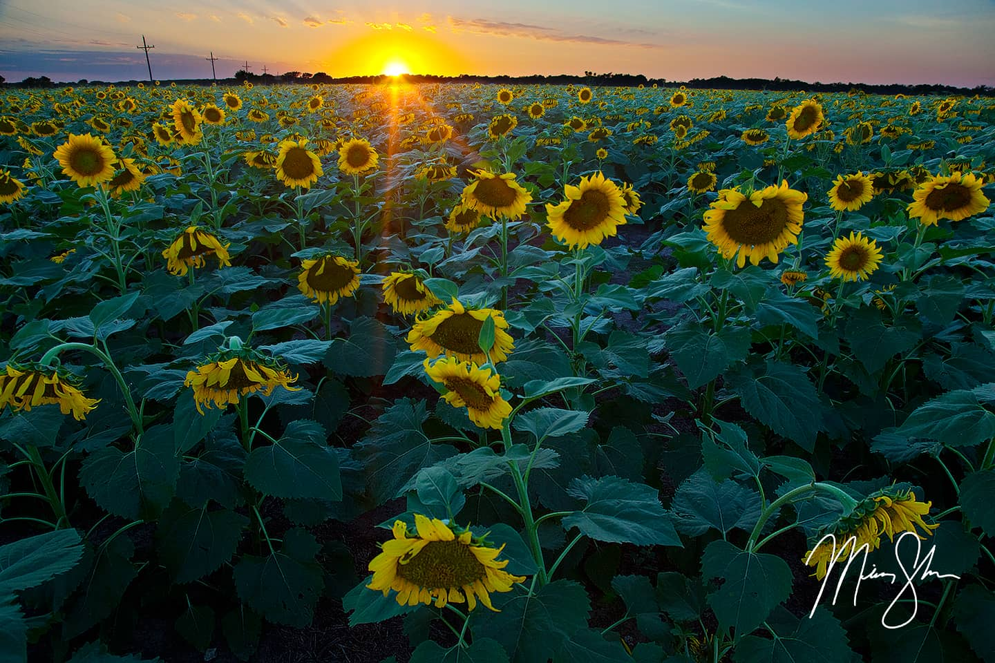 Sunflower Sunset - Lindsborg, Kansas