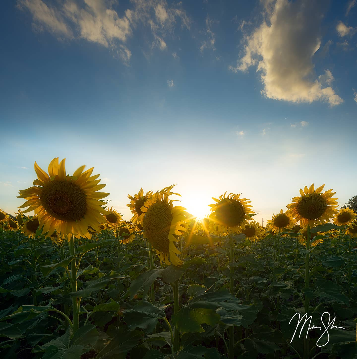 Open edition fine art print of Sunflowers and Sky from Mickey Shannon Photography. Location: Haysville, KS