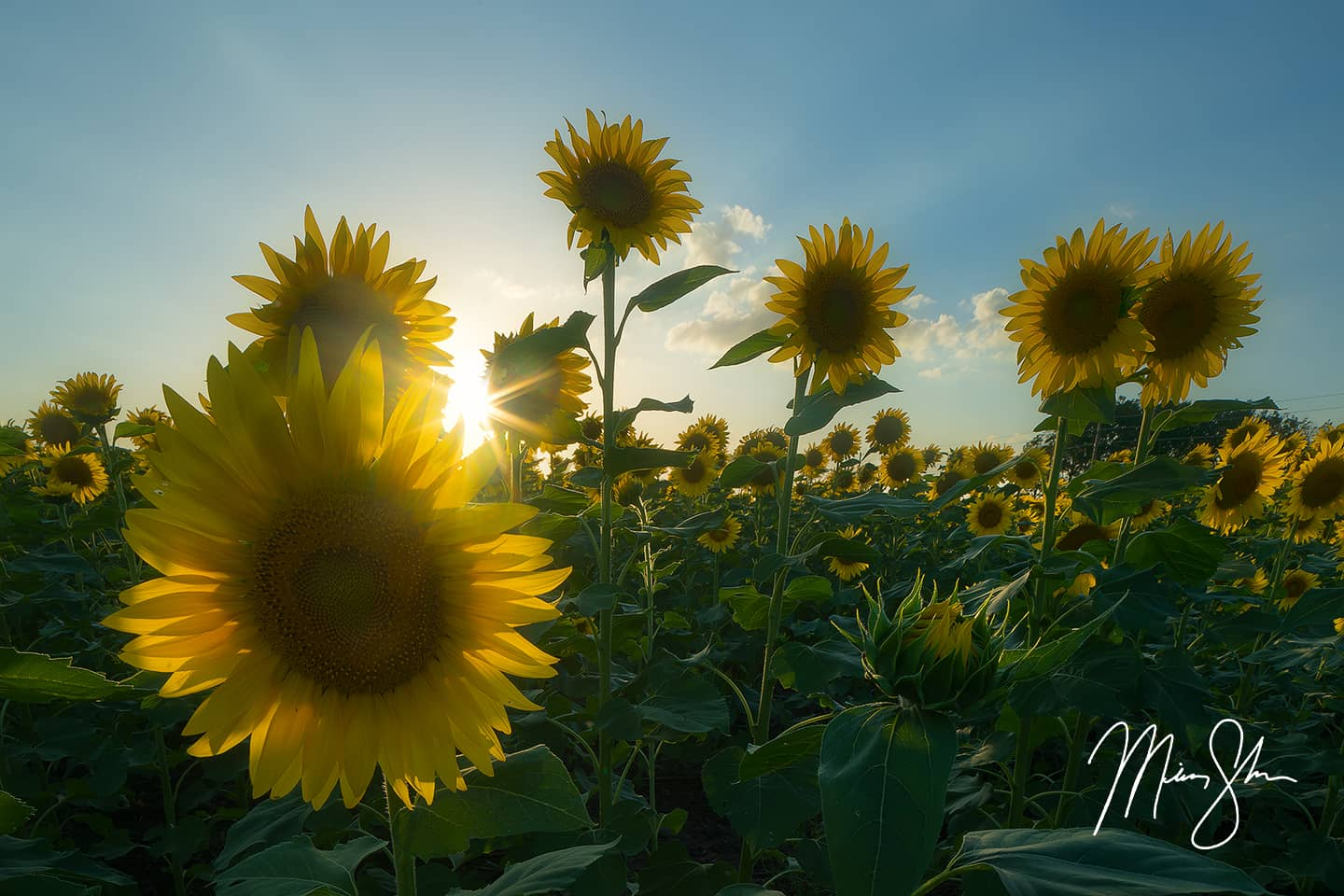 Open edition fine art print of Sunflowers and Sunlight from Mickey Shannon Photography. Location: Haysville, KS