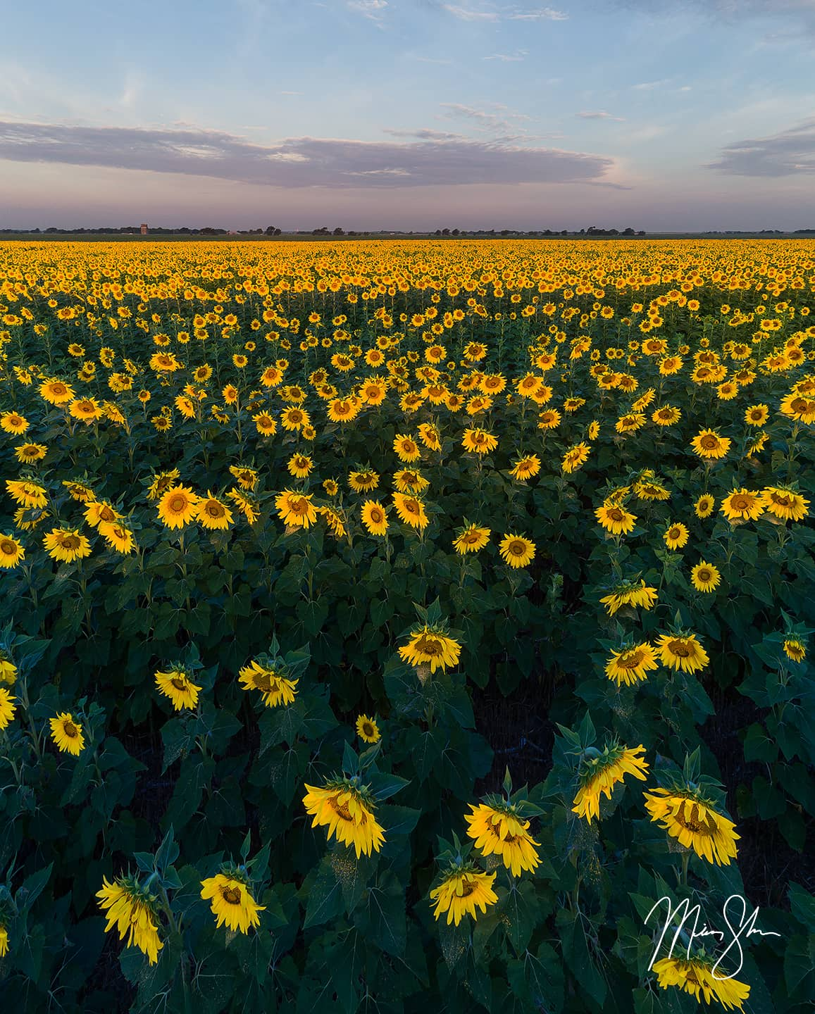 Open edition fine art print of Sunrise from above the Sunflowers from Mickey Shannon Photography. Location: Near Oxford, Kansas