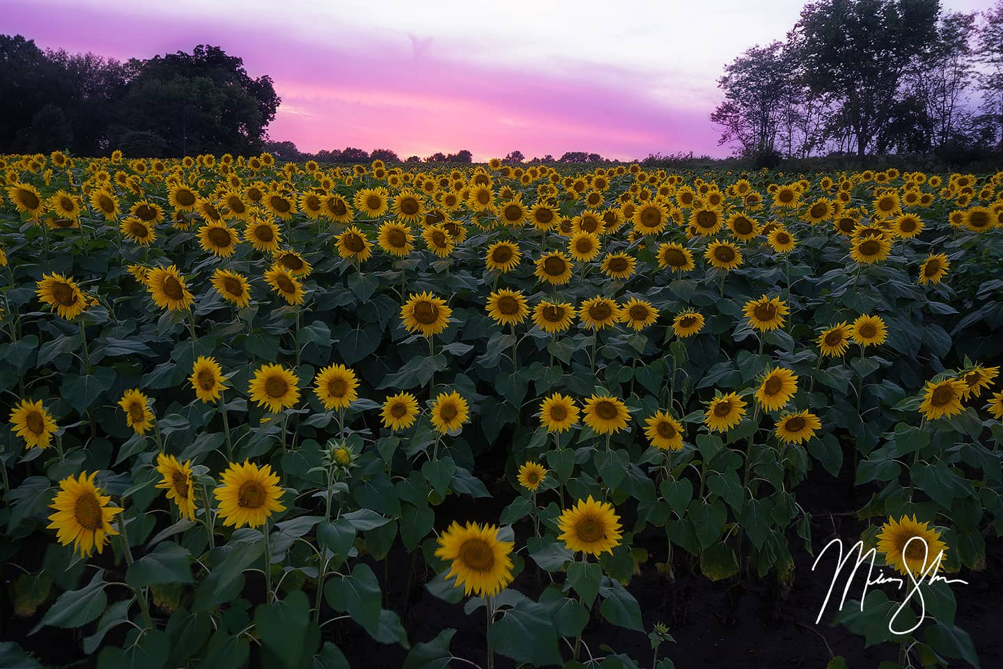 Open edition fine art print of Sunset Over Grinter Farm Sunflowers from Mickey Shannon Photography. Location: Lawrence, KS