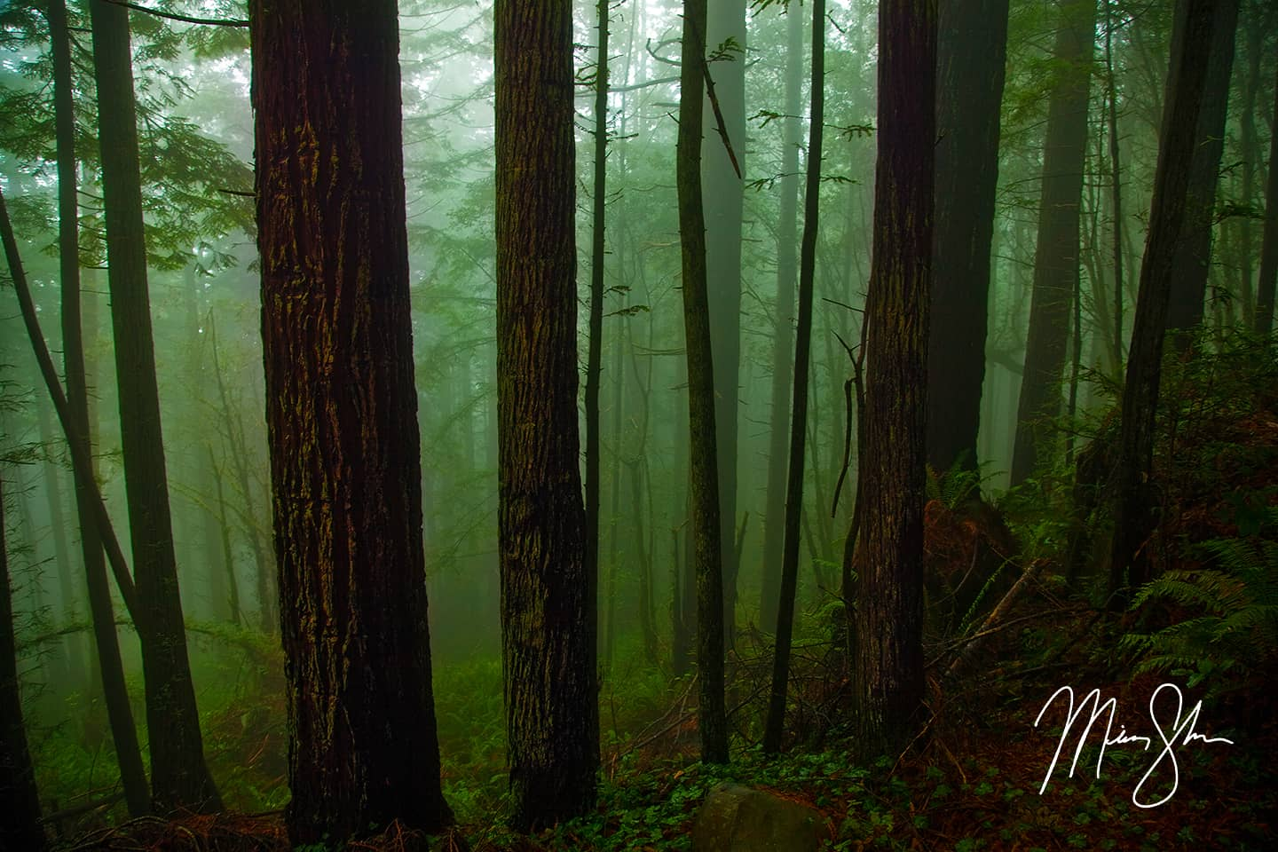 The Ancient Redwood Forest