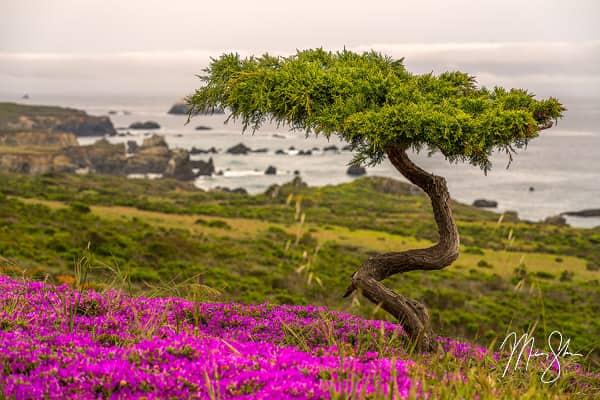 Big Sur Bonsai