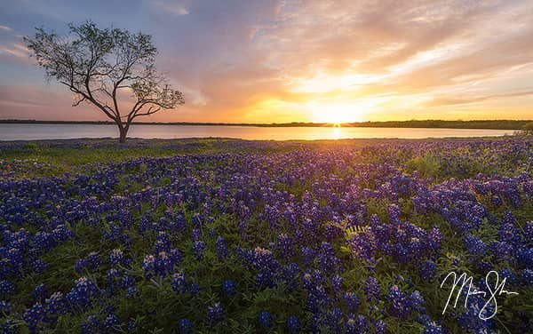 Ennis Bluebonnet Sunburst Sunset
