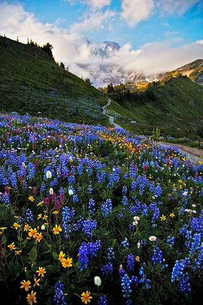 Washington Photo Galleries - Featured: Mount Rainier Wildflowers