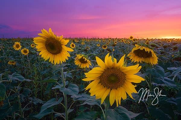 Pastel Sunflower Sunset