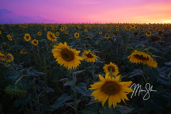 Pilsen Sunflower Sunset