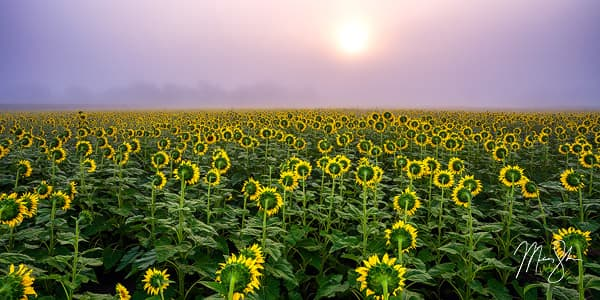 Silence of the Sunflowers