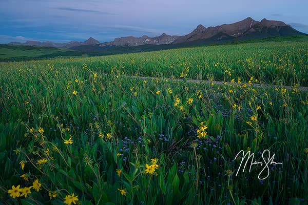 Sneffels Sunflowers at Blue Hour