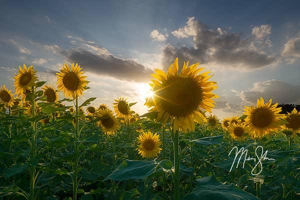 Sunburst Sunflowers