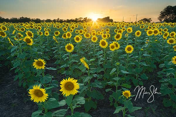 Sunflower State Sunset