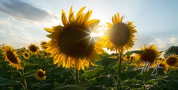 Sunflower Sunburst Panorama