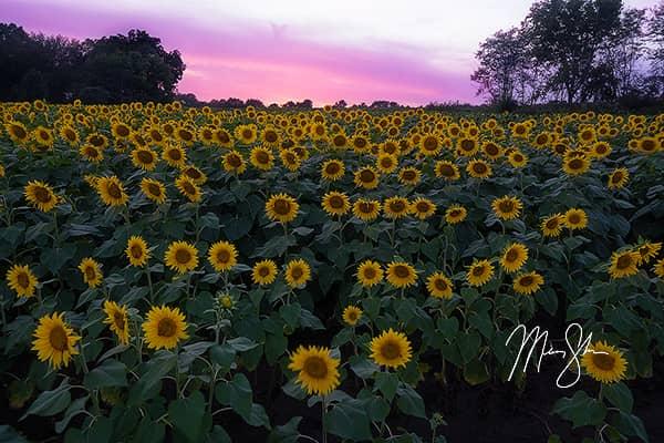 Sunset Over Grinter Farm Sunflowers