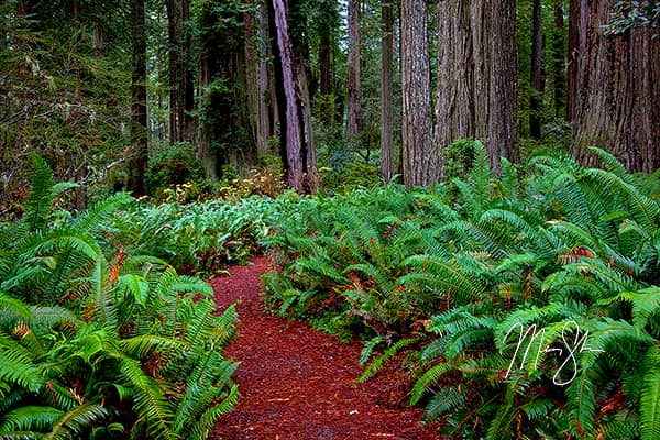 Trail Of The Redwoods