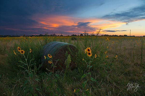 Wild Sunflower State Sunset