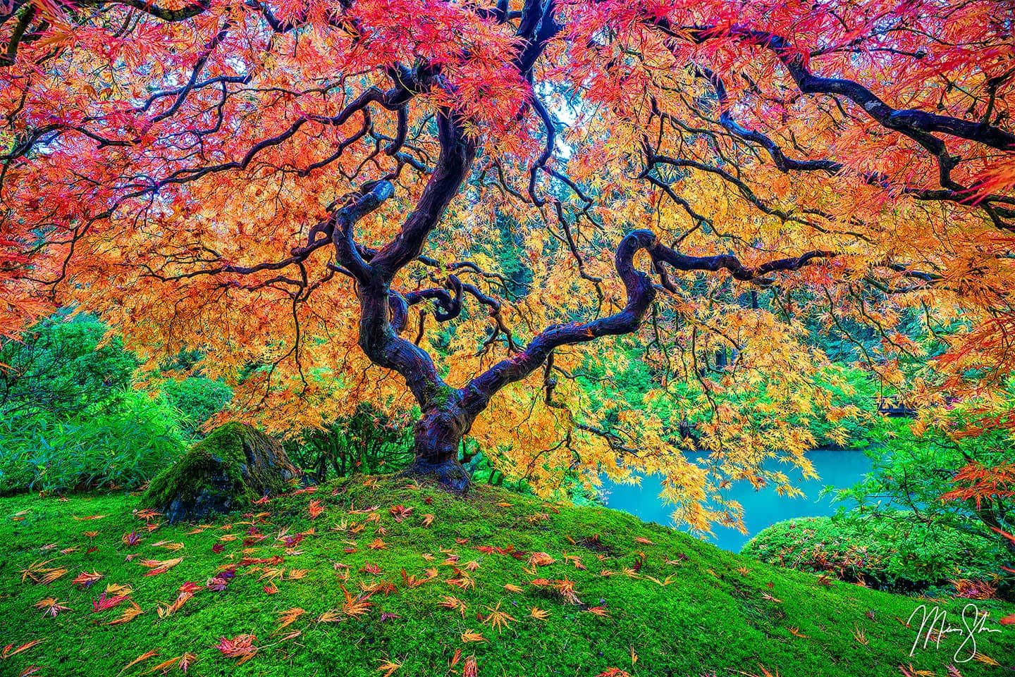 Limited edition luxury fine art print of Portland Japanese Garden's famous Japanese maple tree in Peter Lik Tree of Life style in the autumn