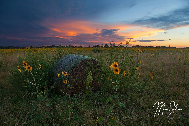 Wild Sunflower State Sunset