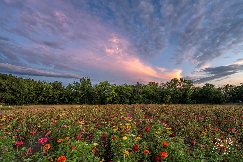 Zinnia Twilight - Rose Hill, Kansas