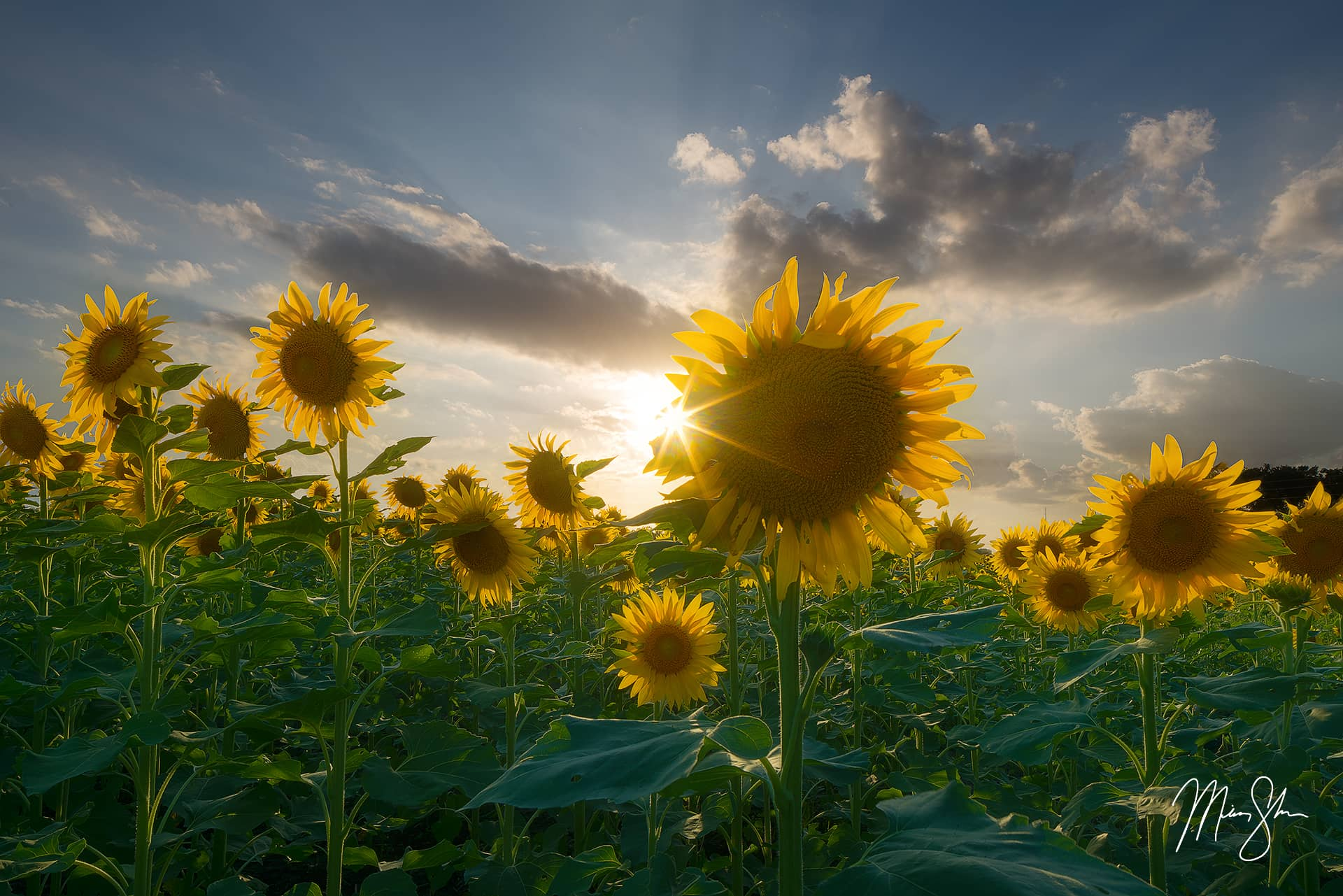 Sunburst Sunflowers